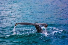 whale-2193356_640