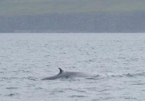 Blue Whale in Eyjafjörður