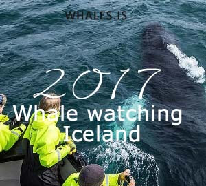 Icelandic whale watching tour