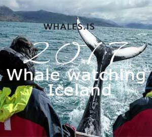 whale tour Iceland