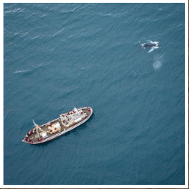 The largest recorded humpback ever was m ft long To put things in perspective our oak boat Whales EA which you see here is m ft longThis fellow here fell a little short of that but made us still feel rather small Image shot by our friend romaincharrier whales hauganes whalewatching eyjafjordur northiceland niceland iceland wanderlust wildlife inspiredbyiceland