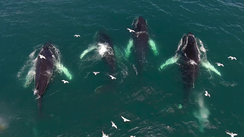 Humpback whales feeding close to Hauganes, North Iceland